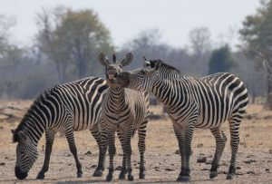 ZAMBIA, AFRICA - AUGUST 2016: Thomas Bullivant from London wins the Juniors category with his image of three zebras posing for the camera, South Luangwa National Park, Zambia, August 2016.