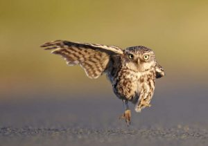 LANCASHIRE, UNITED KINGDOM - JULY 01, 2011: Austin Thomas wins one of the Highly Commended certificates a wild little owl landing with one wing open and one wing closed, Lancashire, England, July 2011.